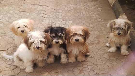 What Are The House Training Stages For Your Lhasa Apso