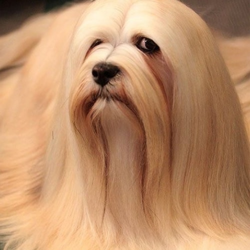 Are Lhasa Apso S Hypoallergenic Lhasa Apso Owner