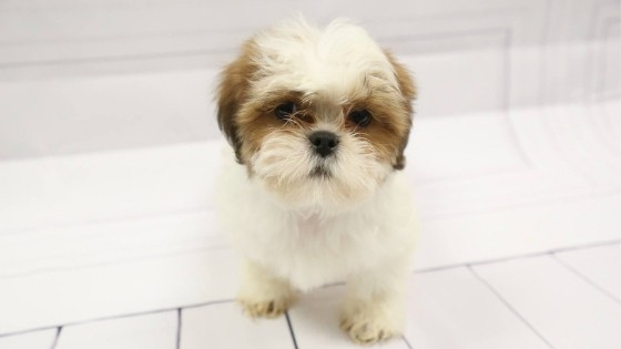 How To Groom Your Lhasa Apso