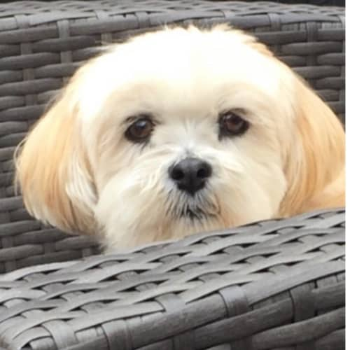 How to Prevent Separation Anxiety With Your Lhasa Apso