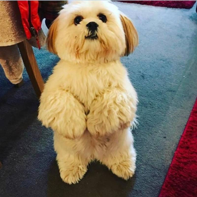 How To Socialize Your Lhasa Apso