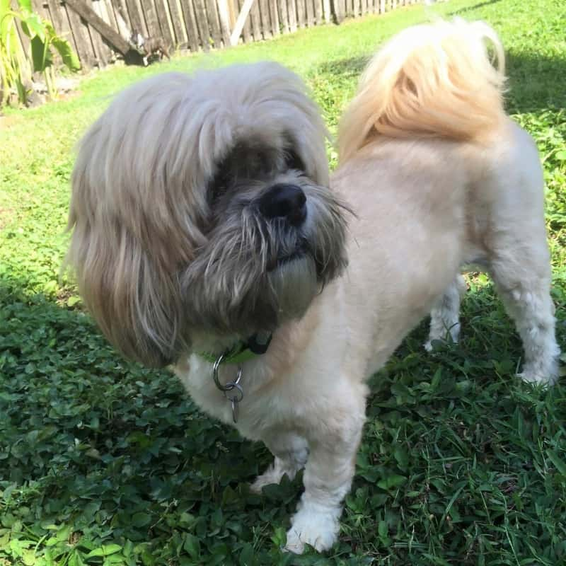 What Is A Lhasa Apso Shih Tzu Mix